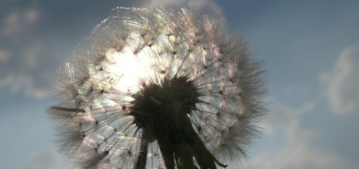 dandelion-408445_1280