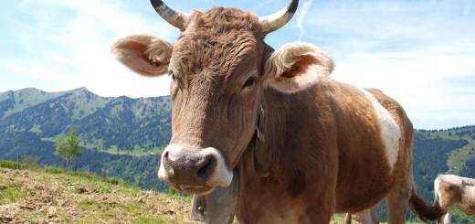 cow-708625_1280